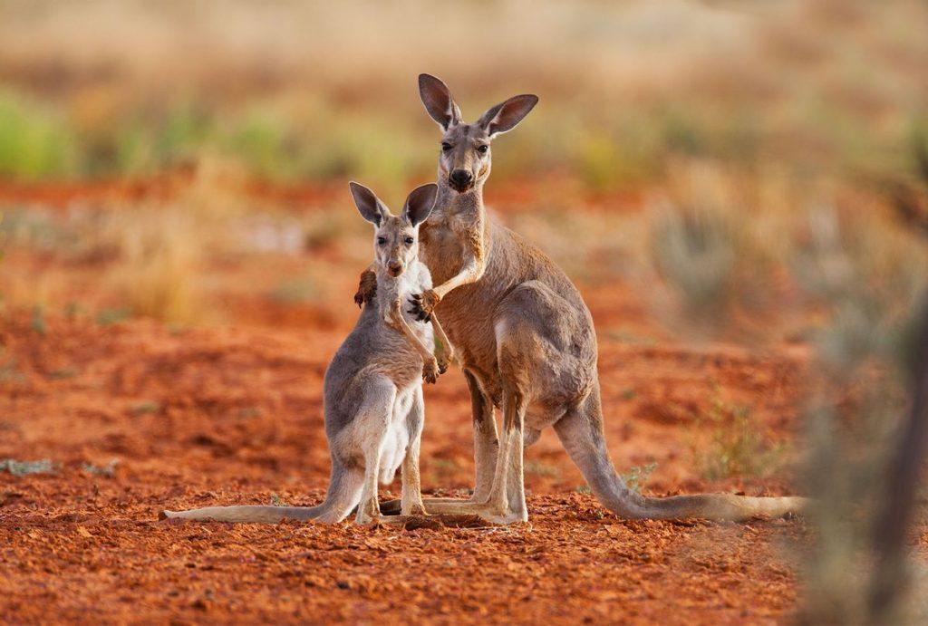 pet kangaroo victoria
